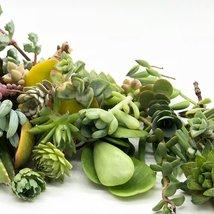 30 or 50 Assorted Succulent & Cactus Cuttings. Great for Terrariums, Mini Garden image 6