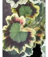 Geranium Tri-color Perennial Easy Low Water 1 Gallon Size - $19.31