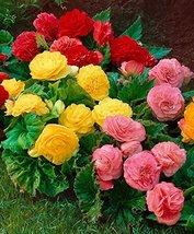 25 Seeds Begonia Tuberous - Non Stop Series - Mix - $20.68