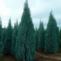 Arizona Cypress Tree Seeds (Cupressus arizonica) 25 Seeds - $12.99