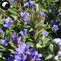 Buy Gentiana Scabra Seeds 400pcs Plant Elephantopus Scaber For Long Dan Cao - $15.99