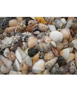 Small Medium SEASHELLS Mix Crafts Sea Shells Wedding Conch Spiral Stripe... - $8.99