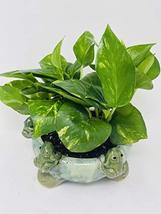 Golden Devil's Ivy Pothos in 6 Frogs Ceramic Pot -JMBamboo - $33.31