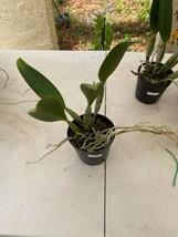 Pot Elegant Walker 'non' CATTLEYA Orchid Plant Pot BLOOMING SIZE 0408v image 2