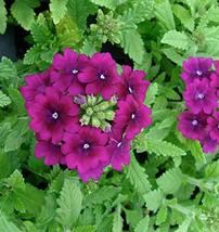 100 Verbena Seeds Quartz XP Purple Verbena Seeds TkMorebargins - $35.64