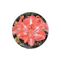 HAPPY FLOWER 2 Bulbs MERJOSARI True Hippeastrum Rutilum Amaryllis Love S... - $1.79