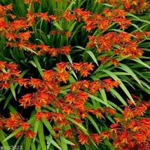 Crocosmia Seeds-brilliant orange-red flowers !Native to South Africa ! - $1.87+