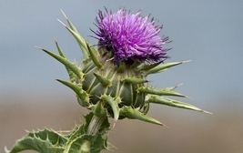 Very Rare Fresh Seeds 8 Variety Blessed Milk Thistle Silybum Marianum #I... - $13.50+