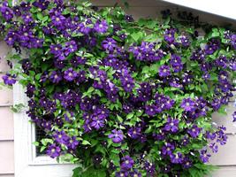 "Live Plant - Jackmani Clematis Vine - Velvety-Purple - 2.5"" Pot - Garden... - $53.00"