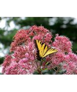 10 Variety Beautiful Sweet Joe Pye Weed Fresh Seeds #IMA33 - $13.99+