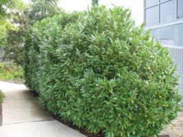 15 Schip Laurel shrub-hedge (Prunus Laurocerasus 'Schipkaensis') image 3