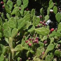 20 Seeds Orange Tuna Prickly Pear Cactus Seed Opuntia Paraguayensis Seeds - $17.94