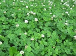 SHIP FROM US 8 Ounces Seeds Ladino White Clover,DIY Plant Seeds RM - $26.99