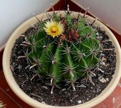 Ferocactus herrera (Fishhook Barrel Cactus) Seeds - $3.18+