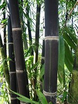 40 Seeds of Giant Black Java Bamboo Seeds, Rare & Hard To Find - $21.78