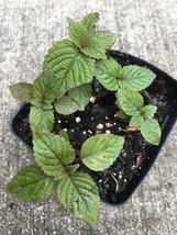"""Organically Grown 4 Small Live 2""""-5"""" Rau Tí Tô Baby Perilla Herbs Plants  - $20.19"""