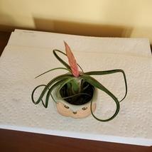 "Owl Planter with Air Plant, 2.5"", sea green ceramic pot, Tillandsia airplant image 5"