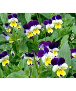 50.000 Bulk Fresh Seeds Very Exotic Johnny Jump Up Viola Cornuta #IMA36 - $277.99