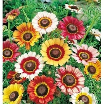 2000 Seeds, Painted Daisy Seed, Beautiful Mulit Colored Blooms. - Outdoor Living - $60.00