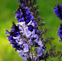 CATMINT Blue Gray Nepeta Mussinii Hardy Perennial Cat Mint 30 Seeds - $13.99