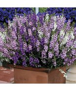 25 Angelonia Serena Series Mix Annual Seeds PS - $37.61