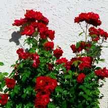 Red Polyantha Rose Multiflora Plant Flower Seeds 50 Seeds / Pack Home and Garden - $5.90