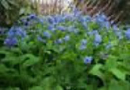 Virginia Bluebell flower 20 root- Shade Lover (Mertensia) image 4