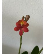 "Epidendrum Star Valley ""Kagaribi"" Reed Type Orchid Plant Blooming Size r... - $22.49"