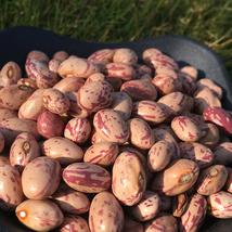 Egg Bean Seed 15 Seeds Snap Bean Phaseolus Linn Vegetables Seeds C136 - $13.58