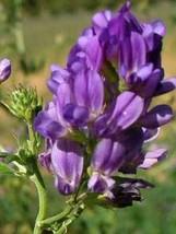 100Seeds Purple Alfalfa Seed High Quality Forage Perennial Grass Seeds - $10.25