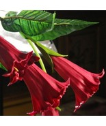 Beautiful 50 RED color Datura Seeds, Dwarf Brugmansia Angel Trumpets, bo... - ₹283.75 INR