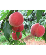 Heirloom Orangic 8 Seeds Peaches Pink Flower Sweet Peach Fruit Tree Seeds - $10.25