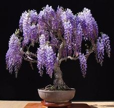 5 Purple Chinese Wisteria sinensis seeds  - $8.50