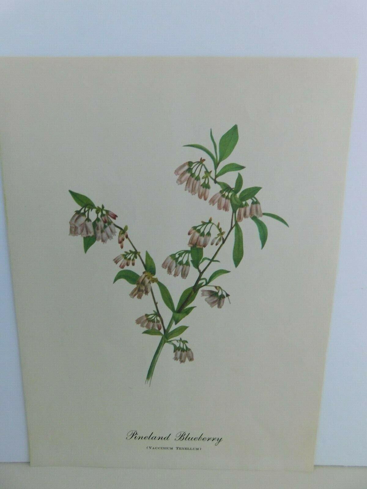 Primary image for VTG Pineland Blueberry  (Vaccinium Tenellum)  9x12 Frameable Print Nature Flower