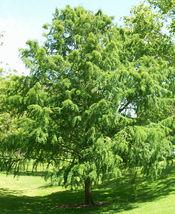 BALD CYPRESS TREE quart pot (Taxodiun distichun) image 4