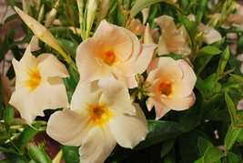 "4"" Pot 1 Plant MANDEVILLA  APRICOT VINE - $40.99"