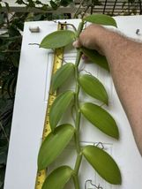 "Vanilla planifolia Orchid Plant Species 24"" Cutting Rooted And Ready To Grow ### image 3"