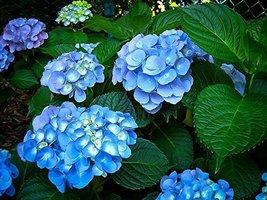 Starter Plant 'Nikko Blue' Hydrangea macrophylla Non GMO Hardy - $44.74