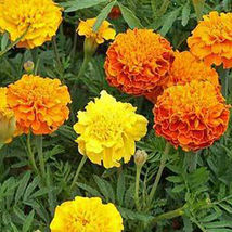 SHIP FROM US FRENCH MARIGOLD PETITE MIX SEEDS - 8 OZ SEEDS -OPEN POLLINA... - $90.96