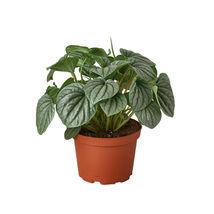 "Peperomia Frost - 6"" Pot - Houseplant - Garden - Outdoor Living - D11 - $63.99"