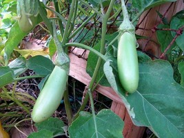 SHIPPED FROM US 50  Louisiana Long Green Eggplant Fruit Vegetable Seeds,... - $15.00