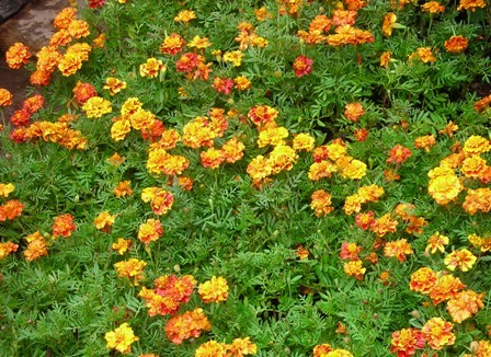Primary image for Yellow Orange French Marigold Flowers Bloom Beautiful 50 seeds/pack