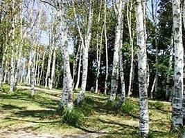 25 White Japanese Birch Tree Seeds - $6.93