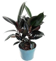 Burgundy Rubber Tree Plant Ficus An Old Favorite - House plant growing i... - €18,63 EUR