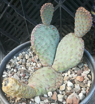 Opuntia basilaris v. caudata Small Thick Pads Pad Pink Flower Whole Plant - $11.83+