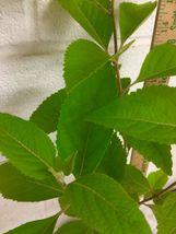 American Beauty Berry shrub qt. pot image 6