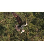 Osprey Bringing Dinner to the Nest Photo - Various Sizes - $7.50+
