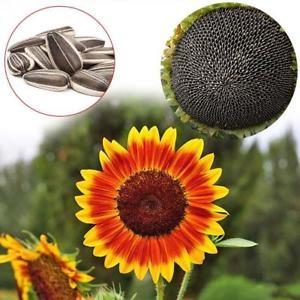 40 Pcs Mixed Sunflower Seed Seeds Vegetables Fruit Flower Home Planting Decor