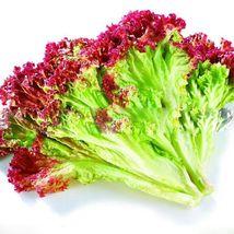 30 Purple Leaf Lettuce Seed Lactuca Sativa Delicious Vegetable Seeds  - $13.58