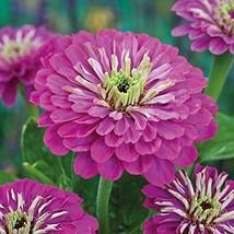 1/4 Pound Seeds of Zinnia Purple Prince - $53.36